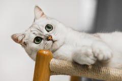 nuova foto del gatto 2019, gatto bianco grigio sveglio con i grandi occhi immagini stock libere da diritti
