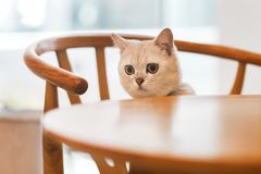 nuova foto del gatto 2019, gatto bianco grigio sveglio con i grandi occhi fotografia stock