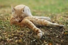 Nuova foto smarrita di Cat Photographer, gatto giallo sveglio fotografia stock