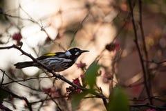 Nuova Holland Honeyeater Bird Immagine Stock Libera da Diritti