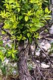 Nuova immagine di concetto di vita di un albero morto con le nuove foglie Fotografia Stock