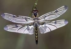 Nuova libellula Fotografie Stock