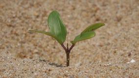 Nuova pianta che vive sulla sabbia stock footage