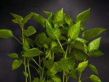 Nuova pianta del peperone verde del giovane germoglio in suolo, primo piano nero del fondo della terra fotografia stock