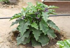 Nuova pianta della melanzana Fotografie Stock Libere da Diritti