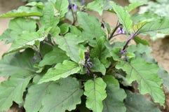 Nuova pianta della melanzana Fotografia Stock Libera da Diritti