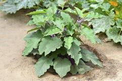 Nuova pianta della melanzana Immagine Stock