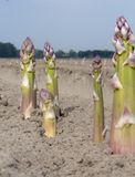 Nuova stagione del raccolto sull'asparago bianco e porpora di verdure dei giacimenti dell'asparago, che cresce scoperto sull'azie immagine stock