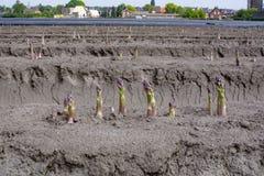 Nuova stagione del raccolto sull'asparago bianco e porpora di verdure dei giacimenti dell'asparago, che cresce scoperto sull'azie fotografie stock libere da diritti