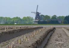 Nuova stagione del raccolto sull'asparago bianco e porpora di verdure dei giacimenti dell'asparago, che cresce scoperto sull'azie immagini stock libere da diritti