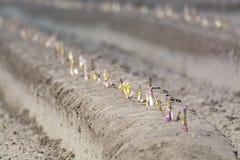 Nuova stagione del raccolto sull'asparago bianco e porpora di verdure dei giacimenti dell'asparago, che cresce scoperto sull'azie immagine stock libera da diritti