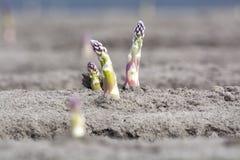Nuova stagione del raccolto sull'asparago bianco e porpora di verdure dei giacimenti dell'asparago, che cresce scoperto sull'azie fotografia stock libera da diritti