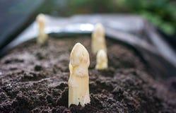 Nuova stagione primaverile di asparago bianco di verdure sul campo pronto a raccogliere, teste bianche di asparago che crescono d fotografia stock