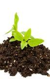 Nuova vita con la pianta tenera Fotografia Stock Libera da Diritti