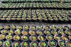 Nuova vita della plantula Immagine Stock