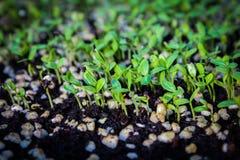 Nuova vita della plantula Immagini Stock