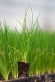 Nuova vita della plantula, la piantina verde del CSR di Giornata mondiale dell'ambiente dell'ecologia dell'alberello va sanità am Fotografia Stock Libera da Diritti