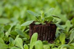 Nuova vita della plantula, la piantina verde del CSR di Giornata mondiale dell'ambiente dell'ecologia dell'alberello va sanità am Immagini Stock Libere da Diritti