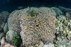 Nuova vita morta di Coral Colony Being Overgrown With fotografia stock libera da diritti