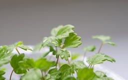 Nuova vita verde Immagine Stock
