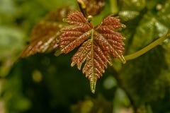 Nuove foglie di vite che crescono nelle vigne nell'area di Lavaux in Switz immagini stock libere da diritti