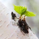 Nuove foglie minuscole Immagine Stock