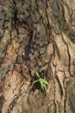 Nuove foglie riguardate il vecchio albero Fotografie Stock Libere da Diritti