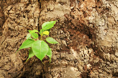 Nuove foglie riguardate il vecchio albero Immagini Stock Libere da Diritti