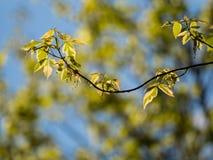Nuove foglie su un albero Fotografie Stock Libere da Diritti