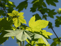 Nuove foglie su un albero Immagine Stock
