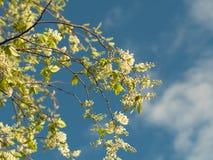 Nuove foglie su un albero di fioritura bianco Fotografia Stock