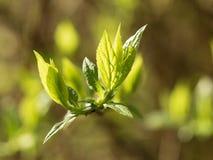Nuove foglie su un ramo Immagini Stock