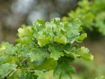 Nuove foglie su una quercia Immagine Stock Libera da Diritti