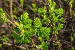 Nuove foglie verdi fresche di un cespuglio di rose germogliante della spiaggia Fotografia Stock Libera da Diritti