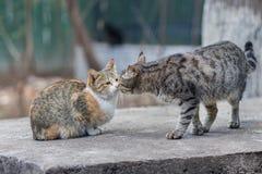2019 nuove foto smarrite di Cat Photographer, due gatti smarriti svegli baciarsi fotografia stock libera da diritti