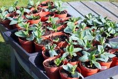 Nuove piante in vasi Fotografia Stock