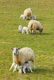 Nuovi agnelli della sorgente immagini stock