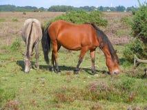 Nuovi cavallini della foresta Immagini Stock