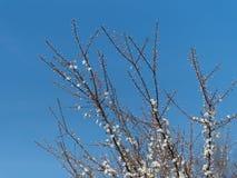 Nuovi fiori di ciliegia bianchi nella primavera Immagini Stock Libere da Diritti