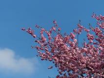 Nuovi fiori di ciliegia rosa nella primavera Fotografia Stock Libera da Diritti
