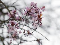 Nuovi fiori di ciliegia rosa nella primavera Immagine Stock