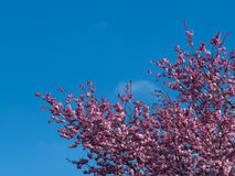 Nuovi fiori di ciliegia rosa nella primavera Fotografie Stock