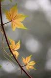 Nuovi fogli, edera Fotografia Stock Libera da Diritti