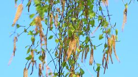 Nuovi gattini della betulla sul fondo del cielo blu primavera La primavera è venuto archivi video