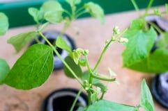 Nuovi germogli di fiore che crescono su una pianta idroponica Fotografie Stock