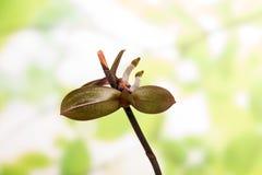 Nuovi germogli sul ramo di una phalaenopsis su verde chiaro Immagine Stock Libera da Diritti
