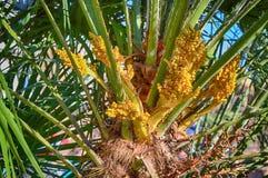 Nuovi mazzi della frutta sulla palma di Phoenix Fotografie Stock Libere da Diritti