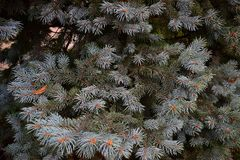 Nuovi rami invasi blu di un albero verde nell'inverno prima del nuovo anno Fotografie Stock Libere da Diritti