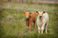 Nuovi vitelli Immagine Stock