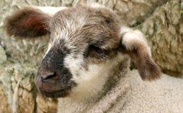 Nuovo agnello 2 immagini stock